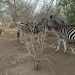 Lindiwie Safari Lodge Zèbres 2